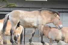 多摩動物公園のモウコノウマの画像011