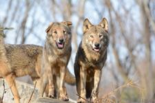 多摩動物公園のオオカミの画像066