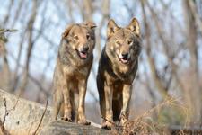 多摩動物公園のオオカミの画像067
