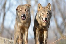 多摩動物公園のオオカミの画像068