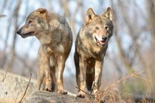 多摩動物公園のオオカミの画像069