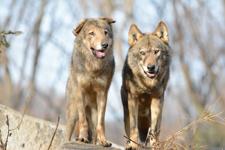 多摩動物公園のオオカミの画像070