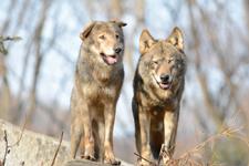 多摩動物公園のオオカミの画像071