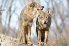多摩動物公園のオオカミの画像072