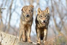 多摩動物公園のオオカミの画像073