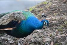 多摩動物公園の孔雀の画像001