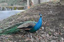 多摩動物公園の孔雀の画像002