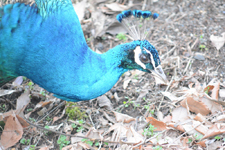 多摩動物公園の孔雀の画像004