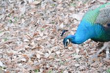 多摩動物公園の孔雀の画像009