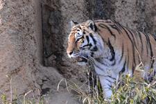 多摩動物公園のトラの画像020