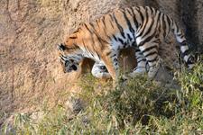 多摩動物公園のトラの画像022