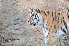 多摩動物公園のトラの画像023