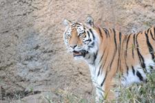 多摩動物公園のトラの画像024