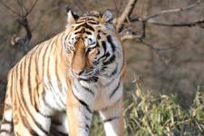 多摩動物公園のトラの画像026