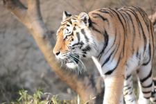 多摩動物公園のトラの画像027