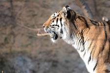 多摩動物公園のトラの画像028