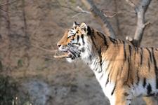 多摩動物公園のトラの画像030
