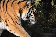 多摩動物公園のトラの画像034