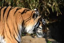 多摩動物公園のトラの画像035