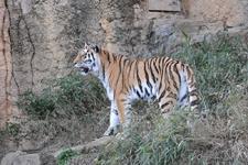 多摩動物公園のトラの画像036