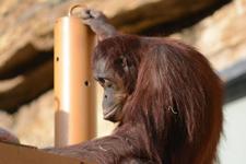 多摩動物公園のオランウータンの画像005