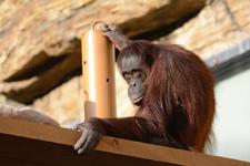 多摩動物公園のオランウータンの画像006