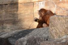 多摩動物公園のオランウータンの画像007