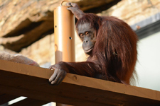 多摩動物公園のオランウータンの画像008
