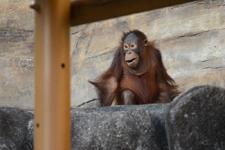 多摩動物公園のオランウータンの画像009