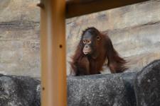 多摩動物公園のオランウータンの画像010