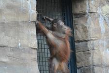 多摩動物公園のオランウータンの画像011