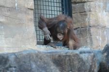 多摩動物公園のオランウータンの画像012
