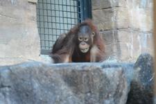 多摩動物公園のオランウータンの画像013