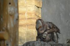 多摩動物公園のオランウータンの画像014