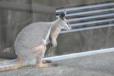 多摩動物公園のワラビーの画像005