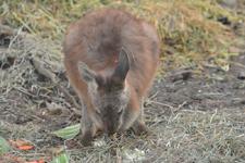 多摩動物公園のワラビーの画像006