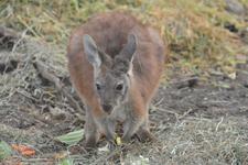 多摩動物公園のワラビーの画像007