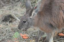 多摩動物公園のワラビーの画像008
