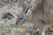 多摩動物公園のワラビーの画像009