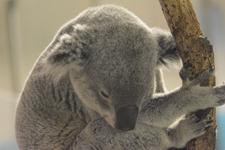 多摩動物公園のコアラの画像004