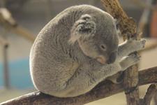 多摩動物公園のコアラの画像005
