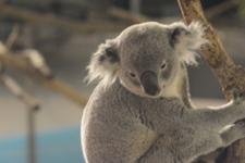 多摩動物公園のコアラの画像006