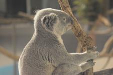 多摩動物公園のコアラの画像007