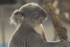 多摩動物公園のコアラの画像008
