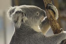 多摩動物公園のコアラの画像009