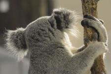 多摩動物公園のコアラの画像010