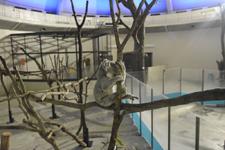 多摩動物公園のコアラの画像011
