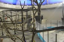 多摩動物公園のコアラの画像012