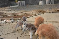 多摩動物公園のカンガルーの画像001