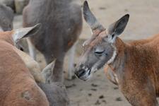 多摩動物公園のカンガルーの画像004